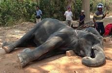 Campuchia sốc trước vụ voi chở du khách chết thảm vì kiệt sức
