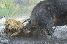 Trâu rừng dũng cảm cảm húc chết sư tử để bảo vệ đồng loại