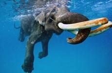 """Kỳ thú cảnh tượng con voi """"tập lặn,"""" chơi đùa với những con sóng"""