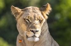 [Photo] Con bướm liều lĩnh đậu lên đầu, trêu ngươi sư tử