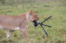 Nhiếp ảnh gia đen đủi bị sư tử nhai ngấu nghiến đồ nghề