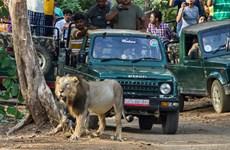 Ba con sư tử bị kết án tù chung thân vì tấn công, ăn thịt người