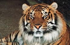 Nữ công nhân xấu sổ bị con hổ dữ đánh tơi tả đến chết