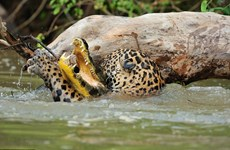 [Photo] Màn săn cá sấu khốc liệt của con báo đốm hung dữ