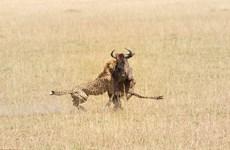[Photo] Màn săn đuổi con mồi khốc liệt của chú báo đốm hung dữ