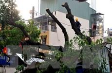 [Video] Hàng trăm cây cổ thụ tại TP Hồ Chí Minh chết bất thường
