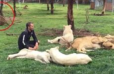 Khoảnh khắc con hổ cứu nhân viên vườn thú khỏi một con báo