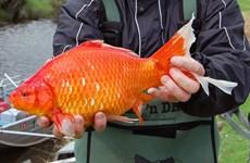 Phát hiện nhiều con cá vàng có kích thước lớn bất thường