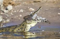 Chú bồ câu đáng thương trả giá đắt vì bơi quá sát mặt sông