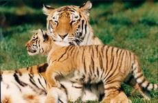 Rùng mình cảnh hổ cái bị đồng loại xé xác, ăn thịt tại vườn thú