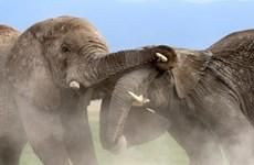Màn tỉ thí tranh giành lãnh thổ đầy quyết liệt của hai con voi