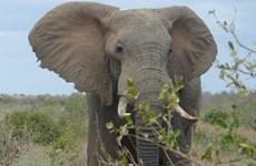 Khách du lịch bị voi giẫm chết vì tiến tới quá gần để chụp ảnh