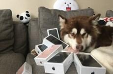 Con trai tỷ phú Trung Quốc mua cho chó cưng 8 chiếc iPhone 7