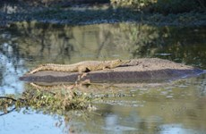 [Photo] Kỳ thú cảnh tượng cá sấu leo lên lưng hà mã để thư giãn