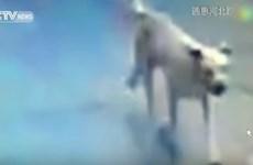 [Video] Con chó nổi điên cắn hơn 30 người giữa phố đông đúc