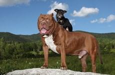 """Tình bạn đặc biệt giữa con pitbull khổng lồ và """"cậu nhóc"""" chihuahua"""