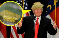 Cận cảnh loài sâu bướm có vẻ ngoài giống mái tóc của Donald Trump