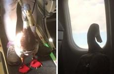 Hành khách bất ngờ khi thấy vịt đóng tã trên chuyến bay