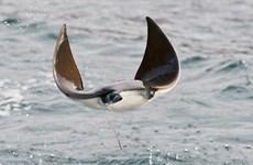 Cận cảnh vẻ đẹp và sức sống mãnh liệt của những con cá đuối bay