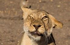 """[Photo] Con sư tử """"méo mặt"""" vì bị đàn ruồi kéo tới làm phiền"""