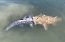 Rùng mình cảnh con cá da trơn khổng lồ cắn đầu đồng loại