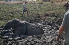 Giải cứu chú voi con bị mắc kẹt nhiều giờ trong đống bùn