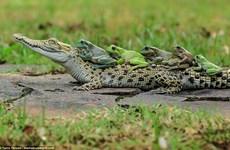 Bật cười với khoảnh khắc đàn ếch thi nhau leo lên lưng cá sấu