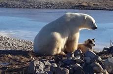 Gấu Bắc cực gây bất ngờ với hành động tình cảm dành cho chú chó