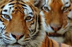 Số lượng cá thể loài hổ quý Amur của Nga tăng vọt chỉ trong 10 năm