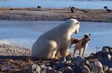 """Cái kết bi thảm cho """"tình bạn"""" giữa gấu Bắc cực và chú chó"""