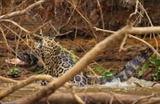 [Video] Báo đốm hung dữ lao xuống nước, kéo cá sấu lên ăn thịt