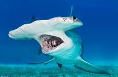 """Đấm chết con cá mập đầu búa rồi kéo lên chụp ảnh """"tự sướng"""""""