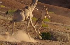 """[Video] Sư tử đói nhận """"liên hoàn cước"""" từ con hươu cao cổ"""