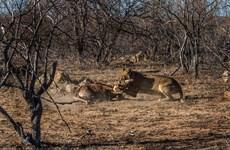 [Photo] Sư tử hạ gục hươu cao cổ con sau hai tiếng vật lộn
