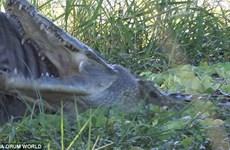 Ngựa vằn thoát chết thần kỳ khỏi hàm răng sắc nhọn của cá sấu
