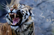 Người đàn ông bị con hổ dữ trong công viên quốc gia cắn chết