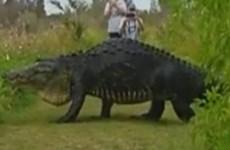 [Video] Sửng sốt với sự xuất hiện của con cá sấu khổng lồ