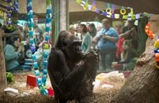 Con khỉ đột già nhất, nổi tiếng nhất thế giới qua đời ở tuổi 60