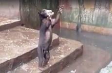 Rớt nước mắt cảnh gấu chó gầy trơ xương, giơ chân xin thức ăn