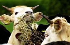 Ireland xác nhận trưởng hợp mắc bệnh bò điên không điển hình