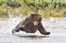 """[Photo] Ngỡ ngàng cảnh gấu nâu """"bay"""" trên mặt nước để bắt cá"""