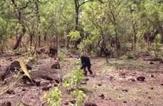 Hãi hùng cảnh con tinh tinh bị các thành viên trong đàn ăn thịt
