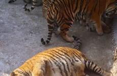 """Những con hổ Siberia """"gây sốt"""" vì thân mình mập mạp, béo tròn"""