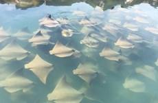 [Video] Ngỡ ngàng cảnh hàng chục con cá đuối vây quanh du thuyền