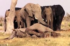 [Video] Xúc động cảnh đàn voi đứng cạnh để bảo vệ xác đồng loại