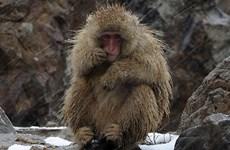 """57 con khỉ ở Nhật Bản bị tiêm thuốc độc vì """"gene ngoại lai"""""""