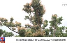 [Video] Bắc Giang có nguy cơ mất mùa vải thiều Lục Ngạn