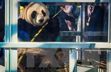 Hà Lan chào đón cặp gấu trúc đặc biệt do Trung Quốc gửi tặng