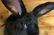 United Airlines lại gặp sự cố vì cái chết của con thỏ khổng lồ