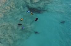 [Video] Hàng trăm con cá mập bơi lởn vởn gần nhóm du khách